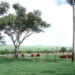 Fazenda Senepol da Grama