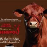 Maior evento anual da raça, Leilão Genética Parceiros do Senepol reúne os melhores criatórios na Feicorte 2012