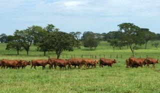 Leilão Parceiros do Senepol, maior evento anual da raça Senepol, será realizado durante a Feicorte 2011