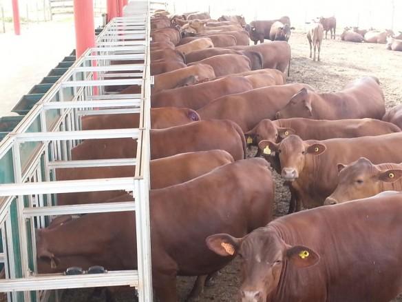 Novilhas em teste no programa Safiras do Senepol, na Fazenda da Grama: recorde de 230 inscritas.