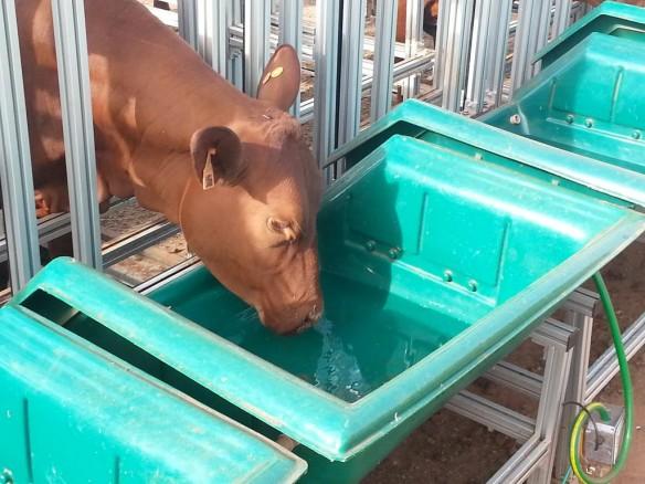 Cocho eletrônico mede também consumo de água e pesa automaticamente as novilhas em prova no Safiras do Senepol, na Fazenda da Grama.
