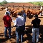 Criadores de Senepol se reúnem em  Pirajuí/SP para ver as novas Safiras
