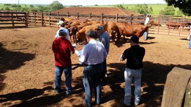 Criadores visitam Fazenda da Grama para conhecer as novas Safiras do Senepol. (Foto: Assessoria de Comunicação S+)