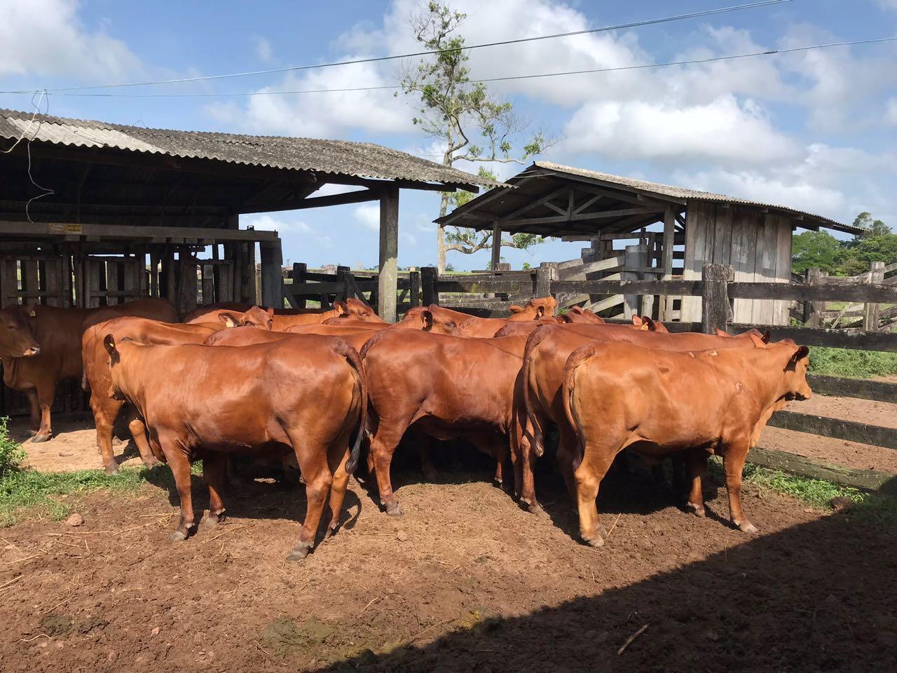 Genética Grama expande fronteiras com doadoras produzindo no Pará