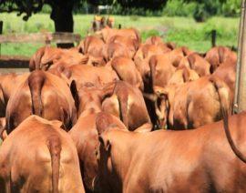 Indústria paga bonificação por animais meio-sangue Senepol