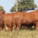 Grama oferta os 90 melhores touros Topázio do Senepol dia 7 de abril