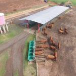 Novo método ajuda a aumentar eficiência hídrica em bovinos de corte