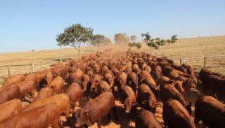 Confira o que faz dos nossos touros melhoradores aptos a dar retorno econômico em pecuária