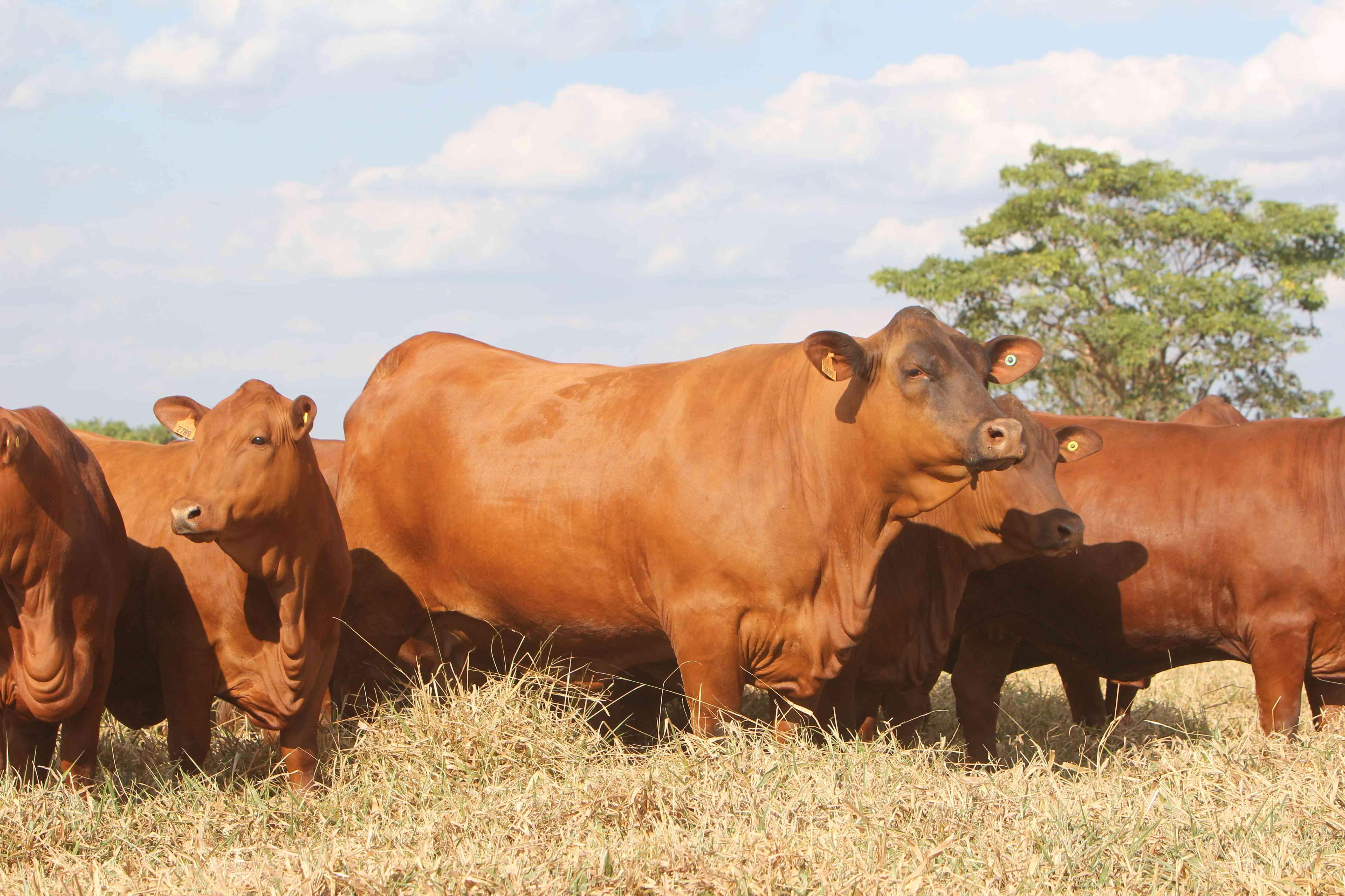 Vitrine Grama Senepol tem 150 fêmeas superiores à venda, dias 5-6-7 de novembro, pelo Canal Rural