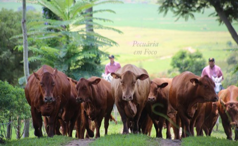 Grama Senepol – Pecuária em Foco