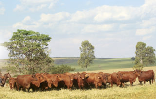 Leilão Topázio e Safiras fecha com média de R$ 28.500 nos touros e R$ 26.500 nas novilhas
