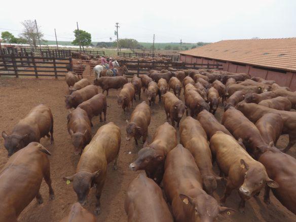 Grama Senepol oferta cabeceira da safra de touros Topázio no dia 10/08